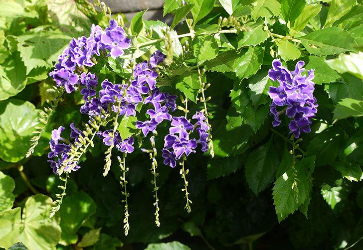 デュランタの花がさらに咲いた1.jpg