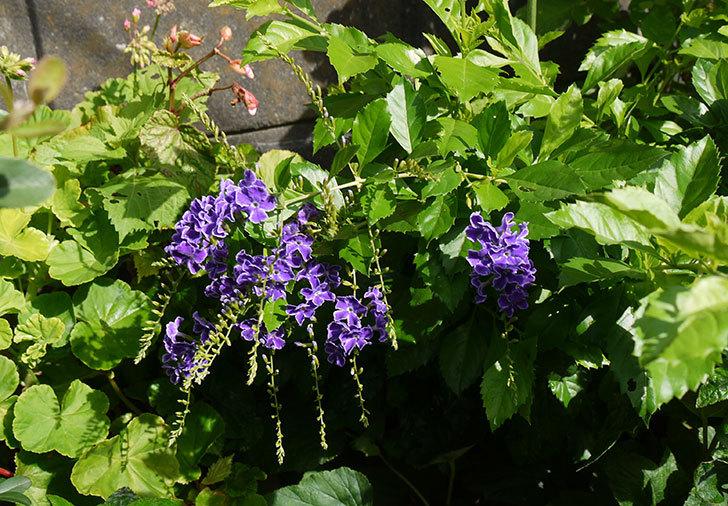 デュランタの花がさらに咲いた3.jpg