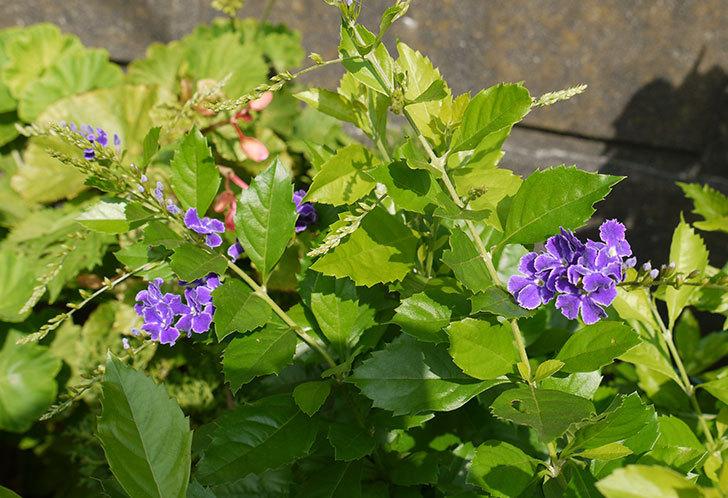 デュランタの花が咲いた1.jpg
