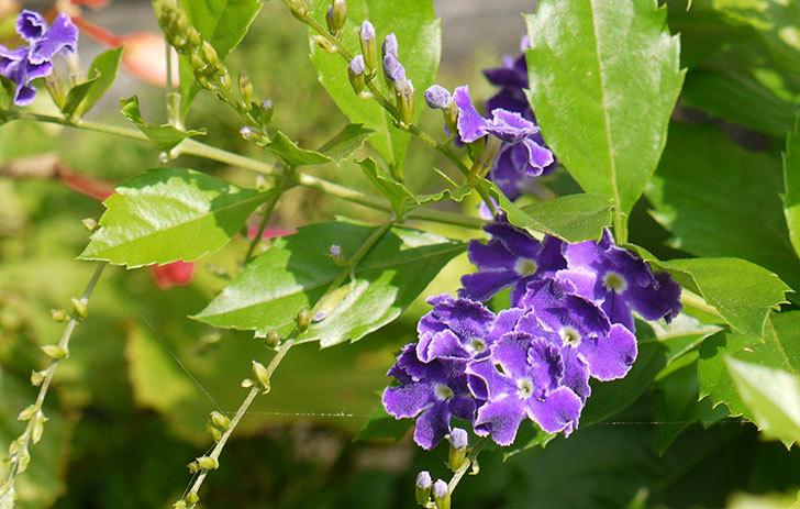 デュランタの花が咲いた2.jpg