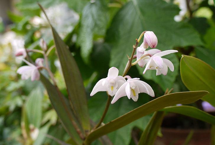 デンドロビュームの花が咲いた1.jpg
