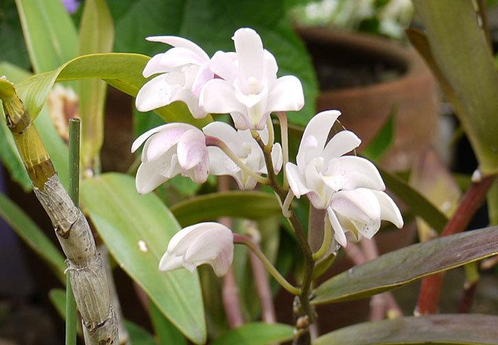 デンドロビュームの花が咲いた3.jpg