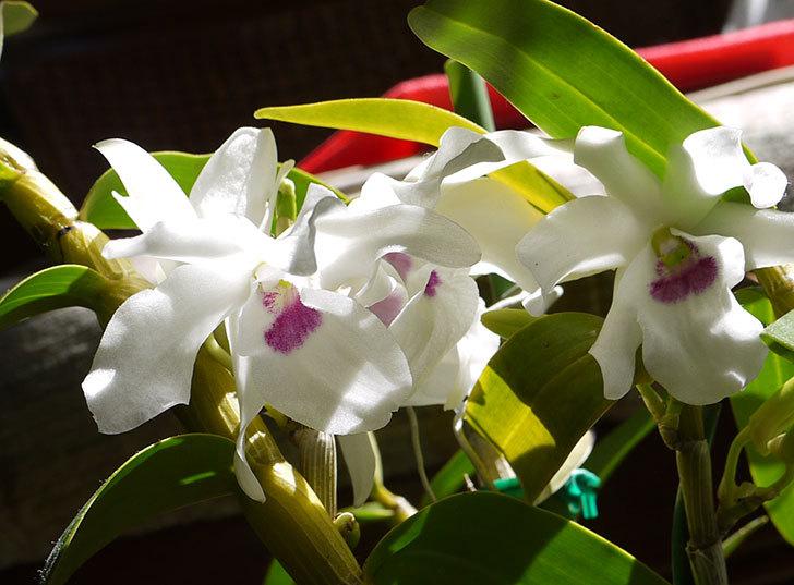 デンドロビュームの花が咲いた4.jpg