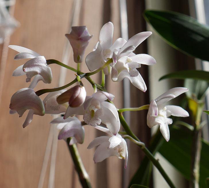デンドロビュームの花が咲いた。2018年-7.jpg