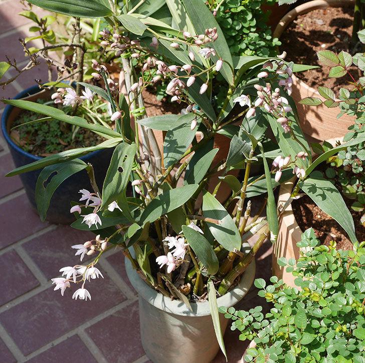 デンドロビュームの花が咲いた。2020年-5.jpg