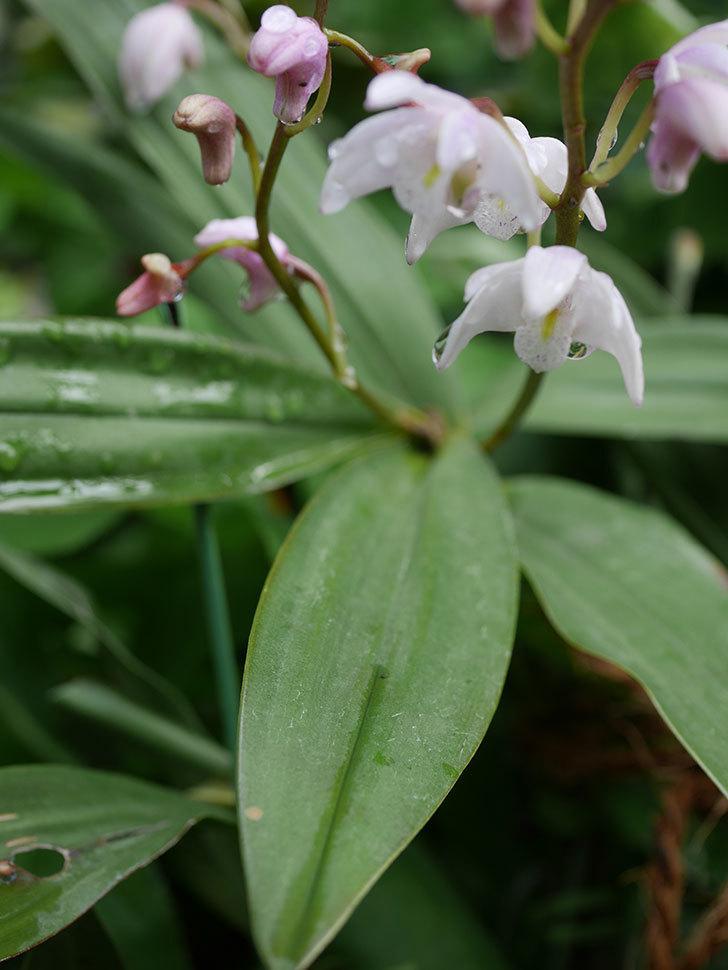 デンドロビュームの花が咲いた。2021年-022.jpg