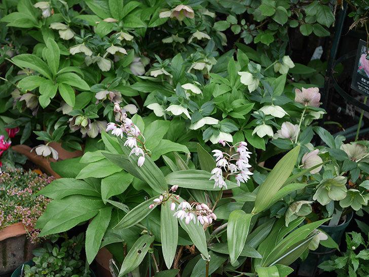 デンドロビュームの花が咲いた。2021年-041.jpg