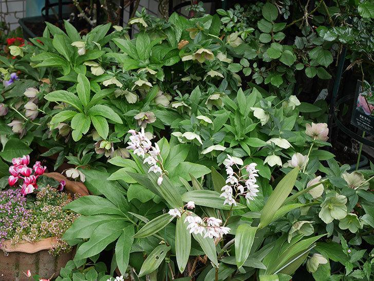 デンドロビュームの花が増えてきた。2021年-013.jpg
