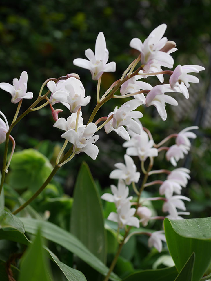 デンドロビュームの花が増えてきた。2021年-017.jpg
