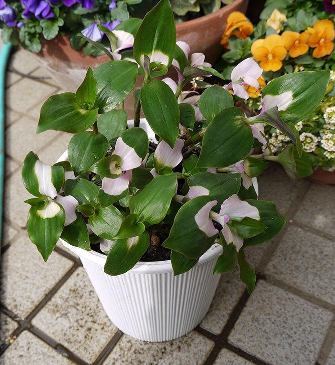 トラデスカンチアを鉢に植え替えた1.jpg