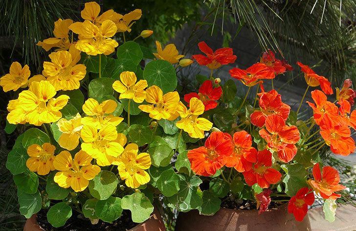 ナスタチューム(キンレンカ)の花がたくさん咲いた2.jpg