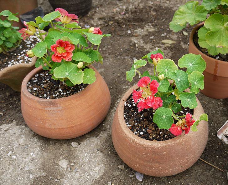 ナスタチューム(キンレンカ)を鉢に植えた1.jpg