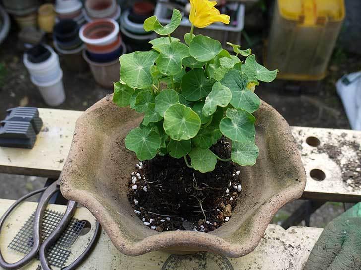 ナスタチューム(キンレンカ)を鉢に植えた3.jpg