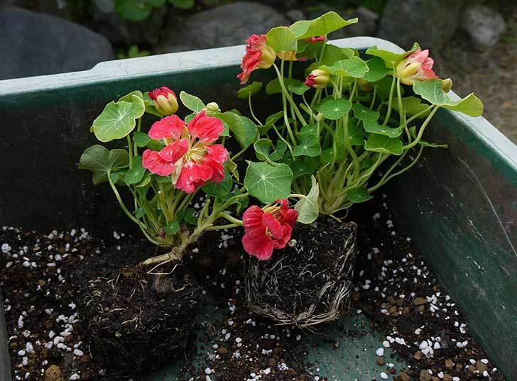 ナスタチューム(キンレンカ)を鉢に植えた4.jpg