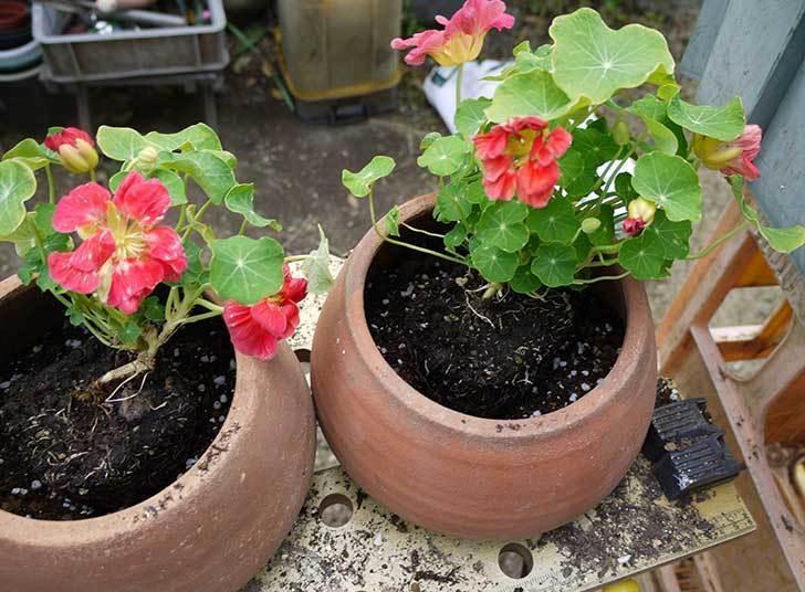 ナスタチューム(キンレンカ)を鉢に植えた5.jpg