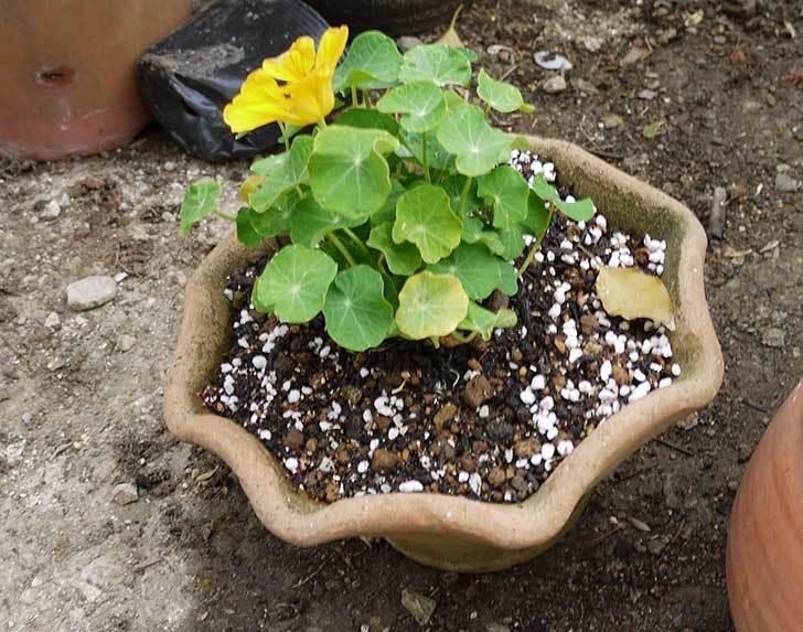 ナスタチューム(キンレンカ)を鉢に植えた6.jpg