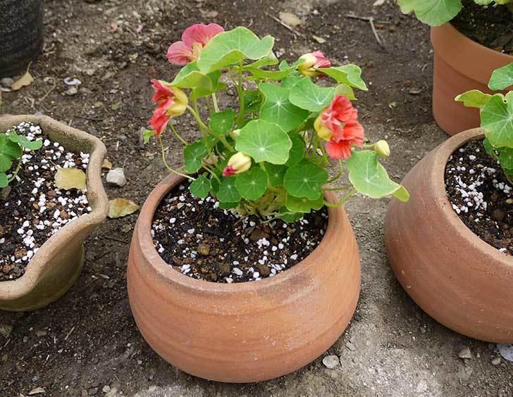ナスタチューム(キンレンカ)を鉢に植えた7.jpg
