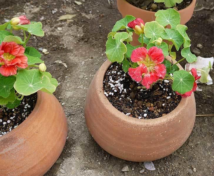 ナスタチューム(キンレンカ)を鉢に植えた8.jpg