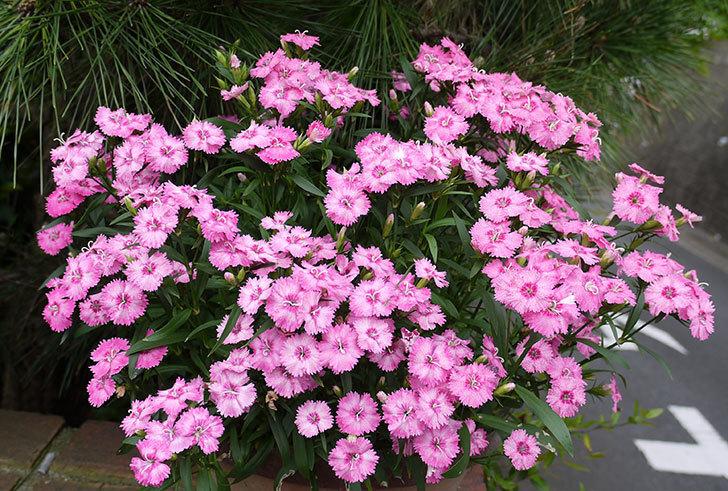 ナデシコ(ダイアンサス)がたくさん咲いた。2016年-1.jpg