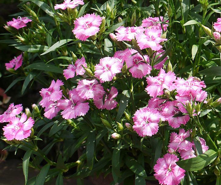 ナデシコ(ダイアンサス)が咲いた。2016年-4.jpg