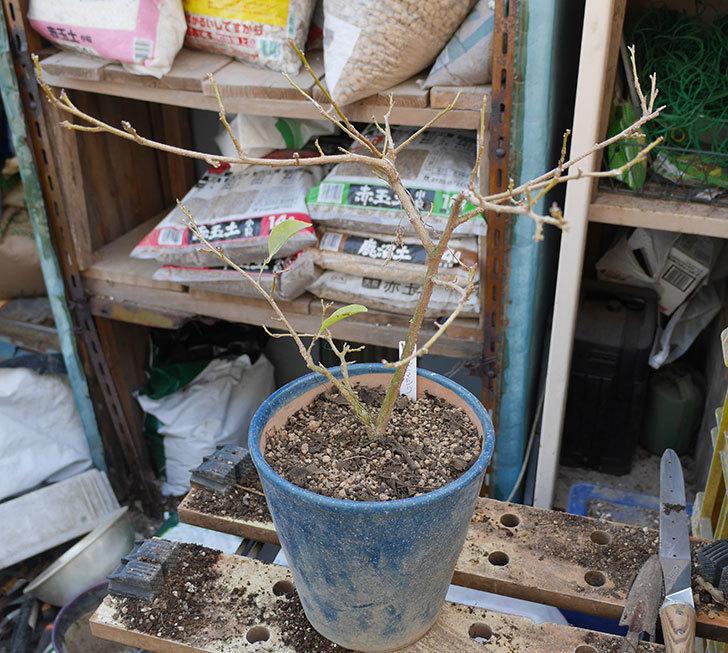 ニオイバンマツリの植え替えをした。2019年-1.jpg