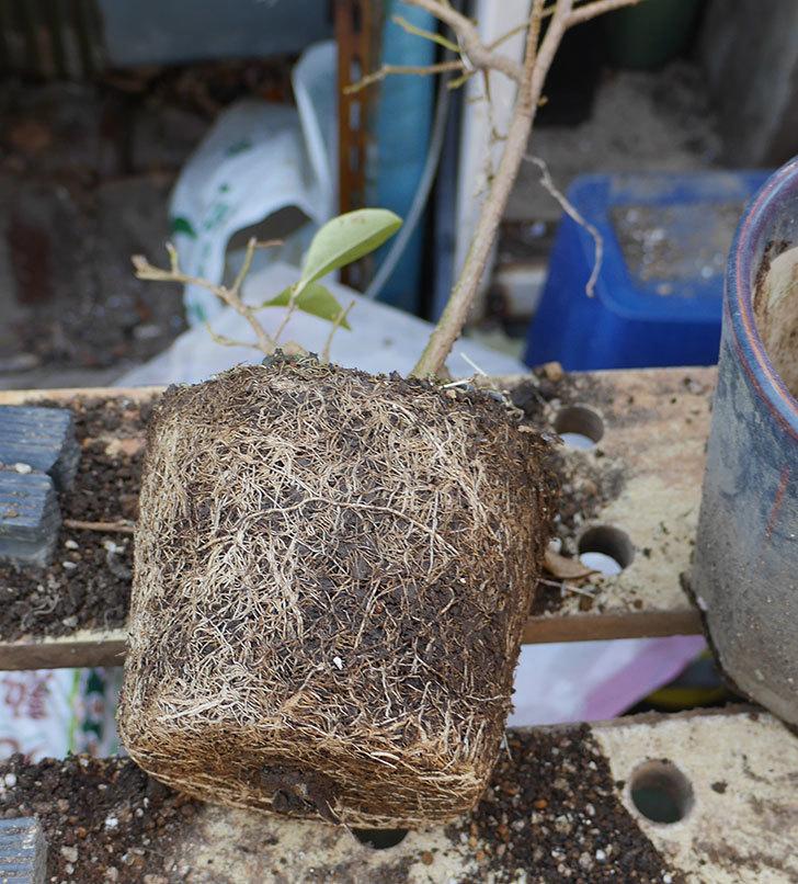 ニオイバンマツリの植え替えをした。2019年-3.jpg