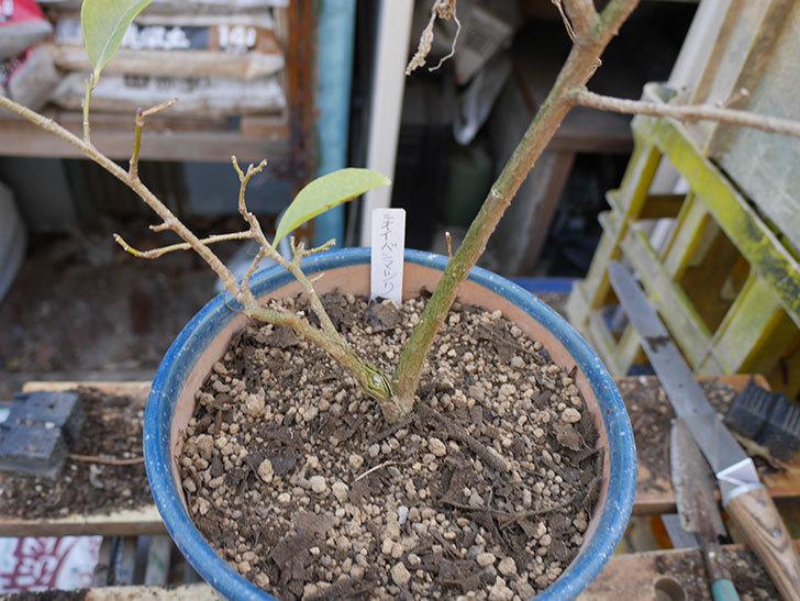 ニオイバンマツリの植え替えをした。2019年-6.jpg