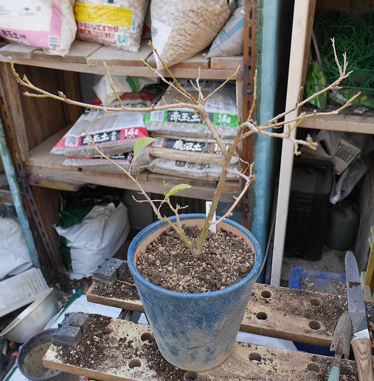 ニオイバンマツリの植え替えをした。2019年-7.jpg