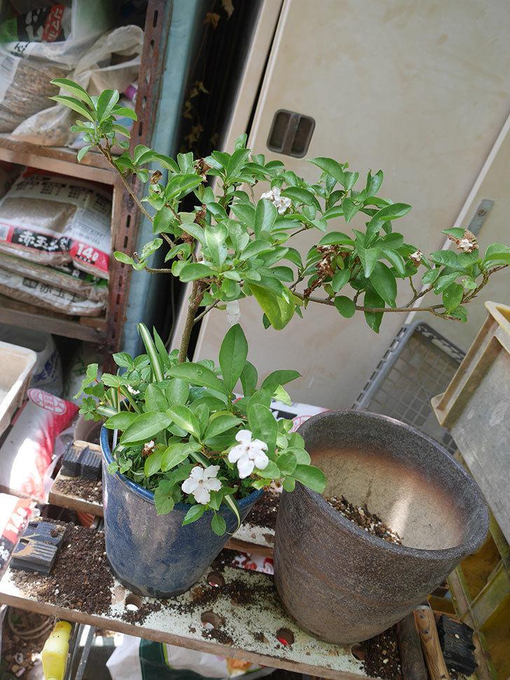 ニオイバンマツリの植え替えをした。2020年-002.jpg