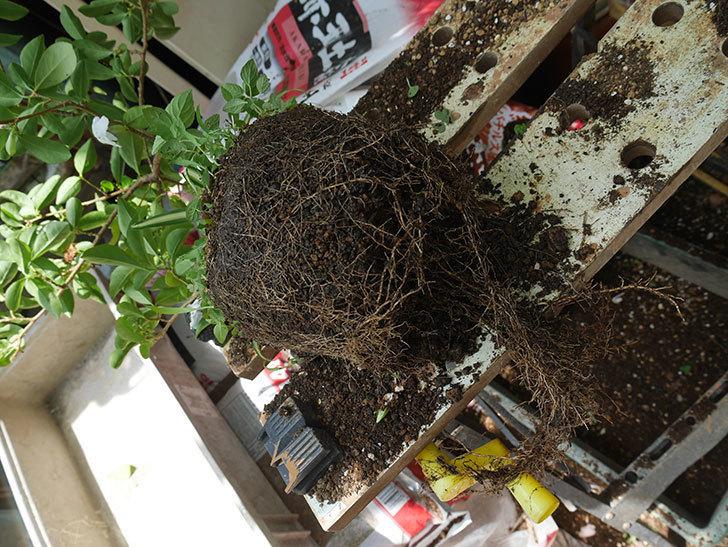ニオイバンマツリの植え替えをした。2020年-003.jpg