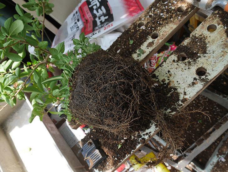 ニオイバンマツリの植え替えをした。2020年-004.jpg