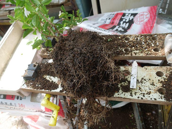 ニオイバンマツリの植え替えをした。2020年-005.jpg