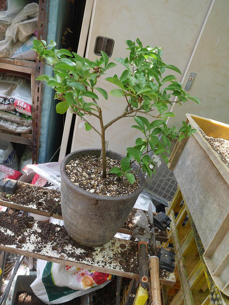 ニオイバンマツリの植え替えをした。2020年-007.jpg