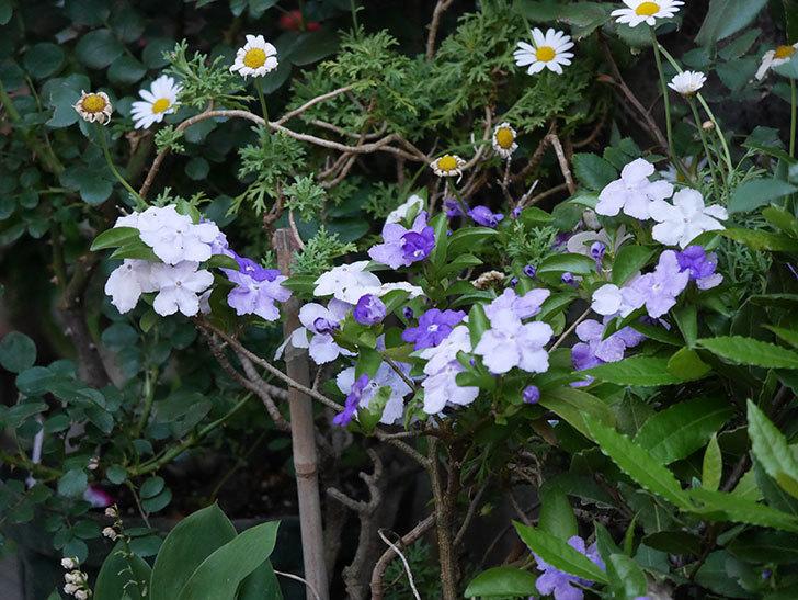 ニオイバンマツリの花がたくさん咲いた。2020年-3.jpg
