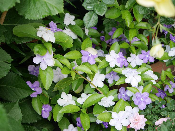ニオイバンマツリの花がたくさん咲いた。2021年-011.jpg