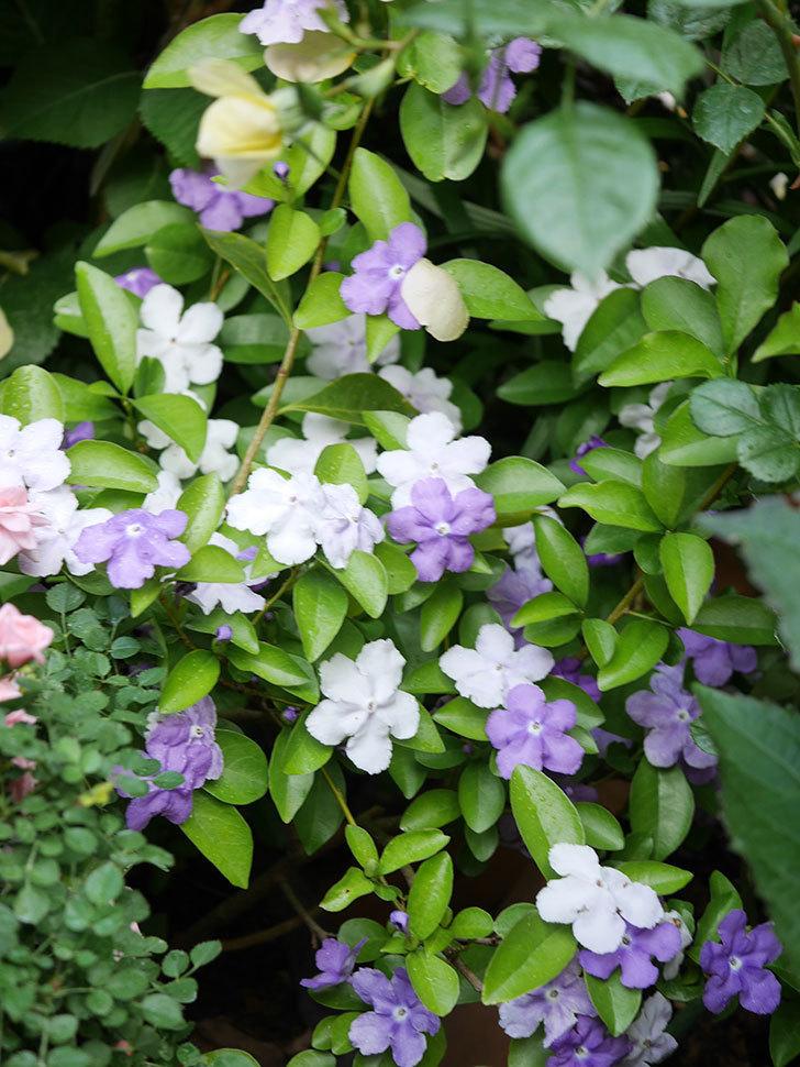 ニオイバンマツリの花がたくさん咲いた。2021年-013.jpg
