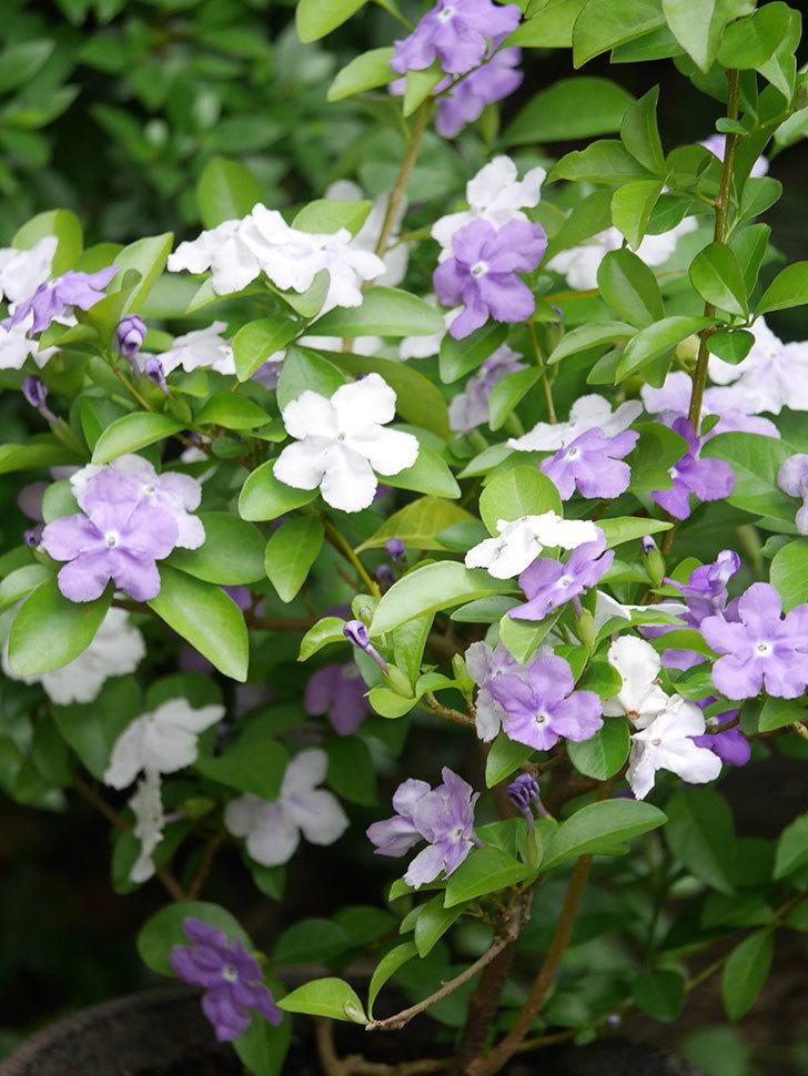ニオイバンマツリの花がたくさん咲いた。2021年-022.jpg
