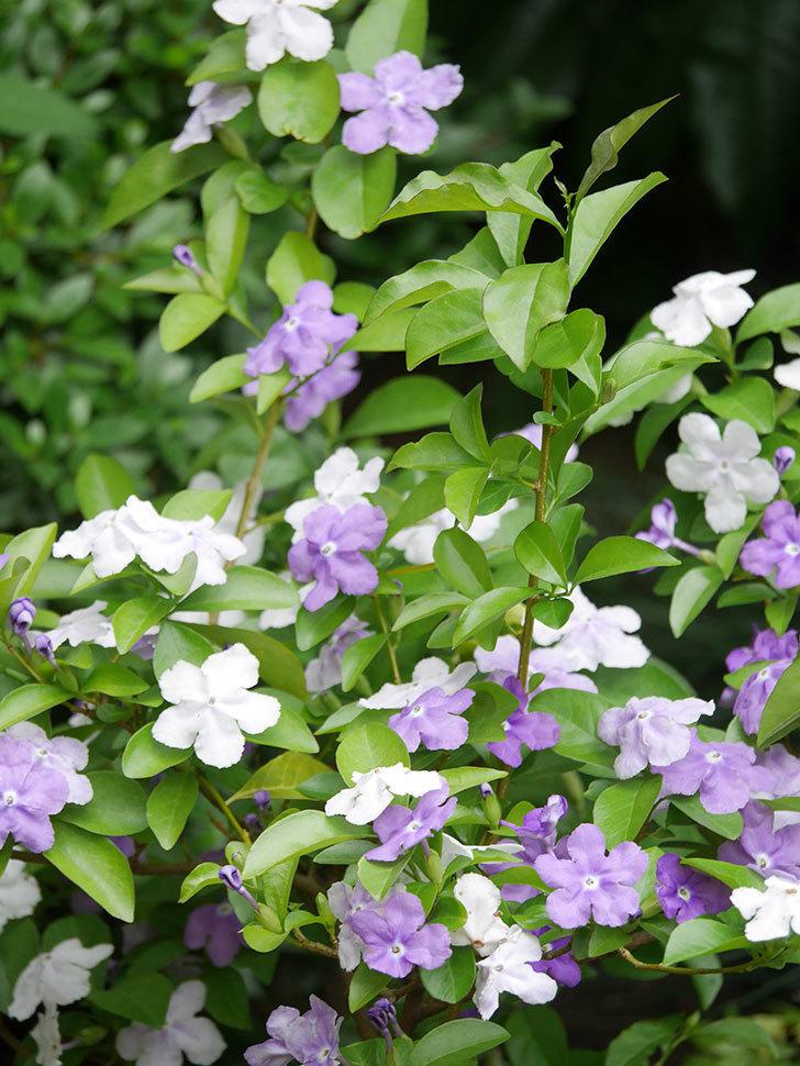 ニオイバンマツリの花がたくさん咲いた。2021年-024.jpg