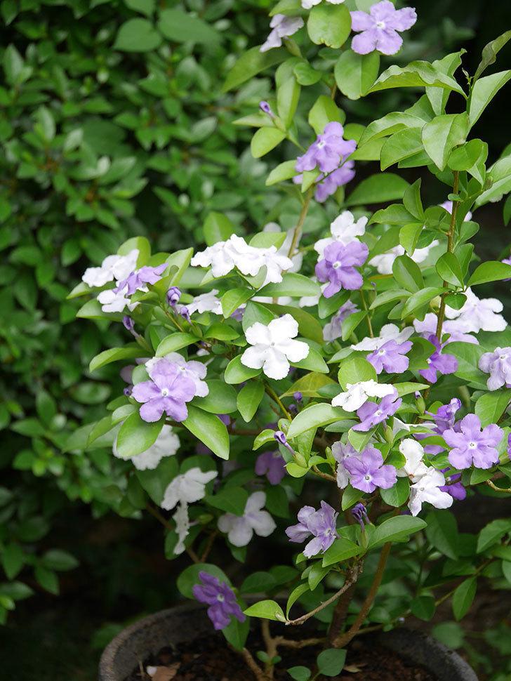 ニオイバンマツリの花がたくさん咲いた。2021年-026.jpg