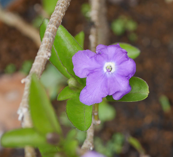 ニオイバンマツリの花が咲いた。2019年-3.jpg