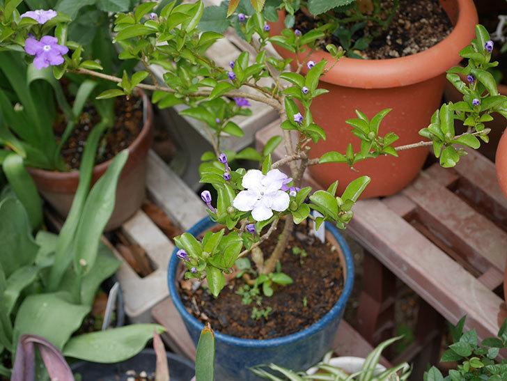 ニオイバンマツリの花が咲いた。2019年-4.jpg