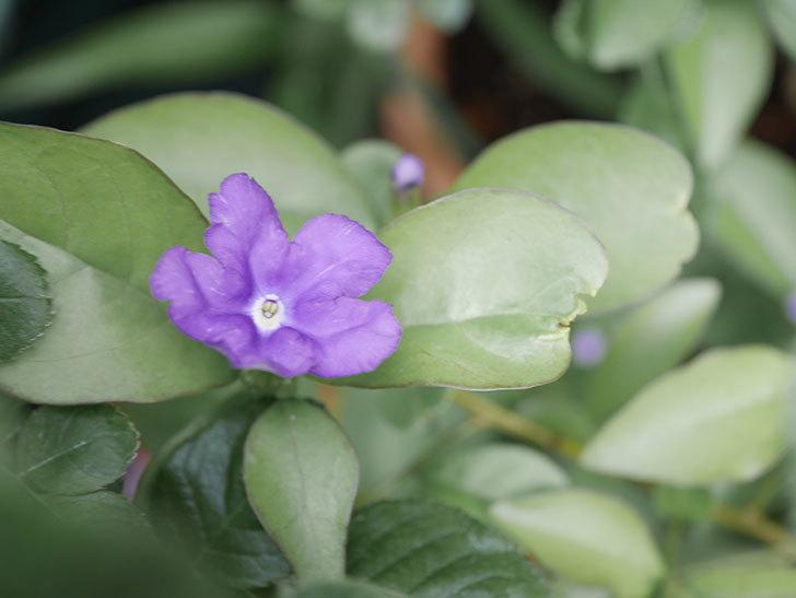 ニオイバンマツリの花が咲いた。2021年-004.jpg