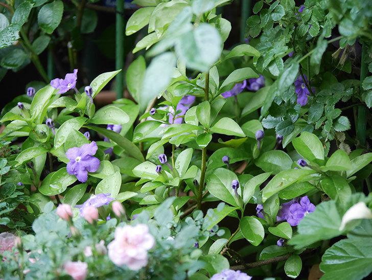 ニオイバンマツリの花が咲いた。2021年-008.jpg