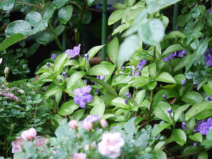 ニオイバンマツリの花が咲いた。2021年-009.jpg