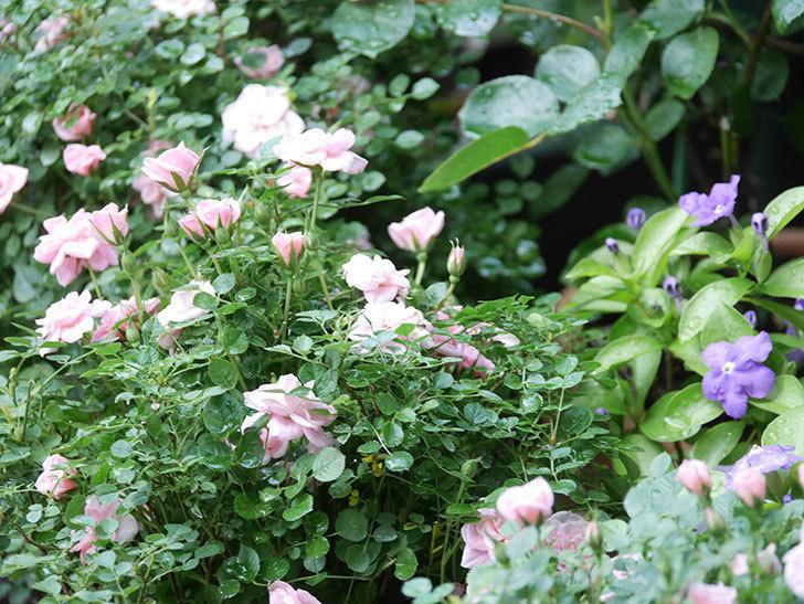 ニオイバンマツリの花が咲いた。2021年-012.jpg