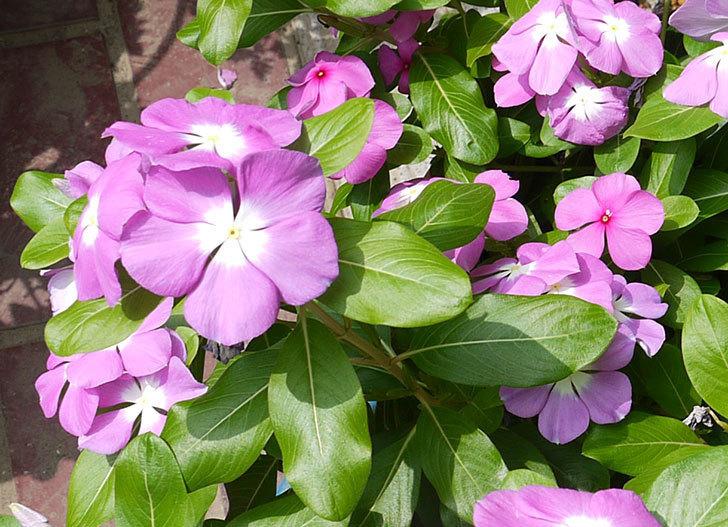 ニチニチソウ(日々草)がたくさん咲いた。2016年-5.jpg
