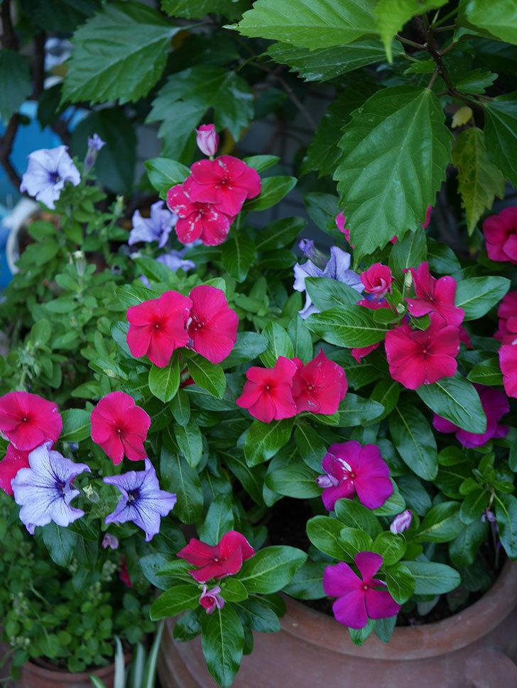 ニチニチソウ(日々草)の花がたくさん咲いた。2020年-007.jpg