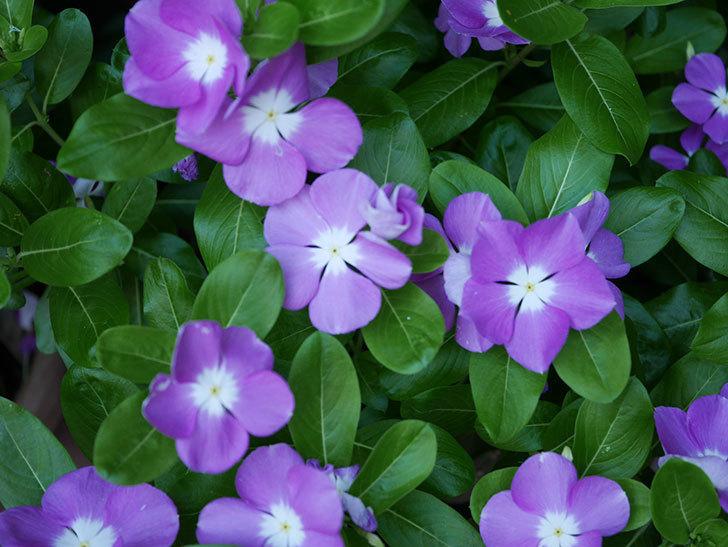 ニチニチソウ(日々草)の花がたくさん咲いた。2020年-009.jpg
