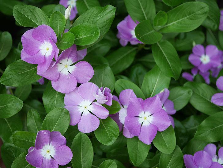 ニチニチソウ(日々草)の花がたくさん咲いた。2020年-010.jpg