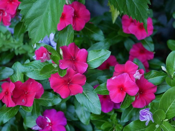 ニチニチソウ(日々草)の花がたくさん咲いた。2020年-011.jpg